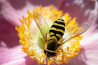 The studies' results could have serious implications for New Zealand's bee population