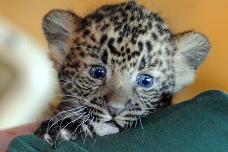 A zookeeper presents baby Javan Leopard Sri Kandi at Tierpark in Berlin, Germany (AAP)