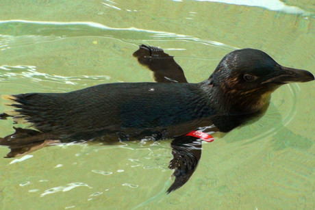 Fairy penguin Dirk after being released into his enclosurer at Sea World on the Gold Coast (AAP)