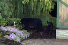 The bears, caught on camera in the studio's outdoor area