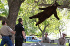 The bear dropped from a tree after it was tranquilised  (AP)
