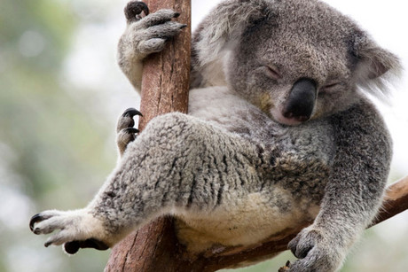 Many koalas carry Chlamydia, which has been blamed for a drop in koala fertility