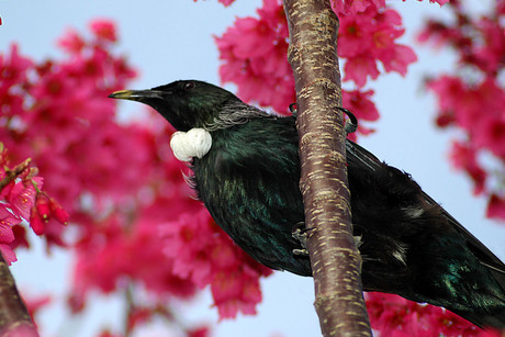 The tui is one of the world's most intelligent birds (file)