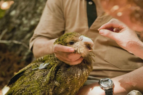 A kakapo gets a health check in a scene from Dr Attila
