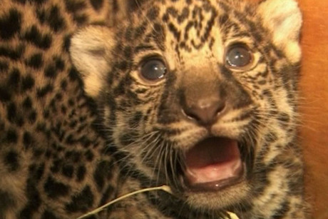 The jaguar cubs at San Diego Zoo