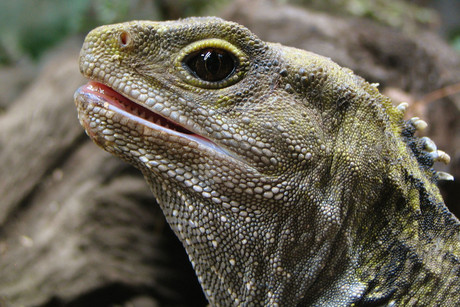 The tuatara chews like no other land animal (file)
