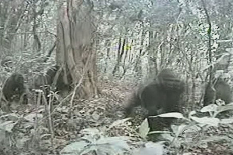 Cross River gorillas (Image: World Conservation Society via CBS)