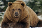 A brown bear (Reuters file)