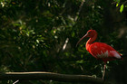 A Scarlet Ibis is seen in 'Senda El Retiro' in Malaga, Spain (Reuters)