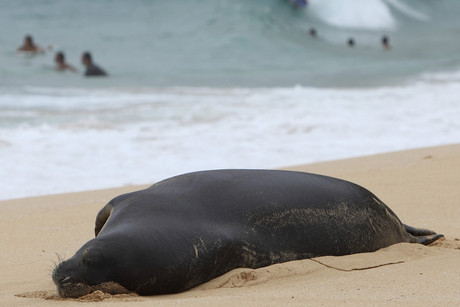 A Hawaiian monk seal rests on the beach as surfers catch waves at Sandy Beach near Honolulu, Hawaii (Reuters)