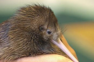 A population of rowi, the rarest kiwi species, is being established on Mana Island near Wellington (file)