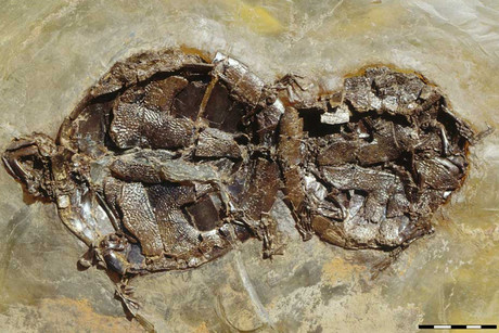 One of nine mating pairs of the extinct turtle Allaeochelys crassesculpta found at the Messel Pit fossil site (Photo: Naturmuseum Senckenberg in Frankfurt)