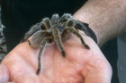 Tarantula walks across a hand