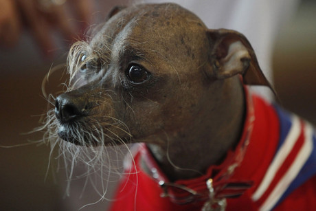 Mugly, an eight-year-old Chinese Crested contestant from Britain, stands during a news conference for the World's Ugliest Dog Contest at the San Francisco SPCA in San Francisco (Reuters)