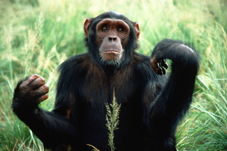 Apes could be more intelligent and social than previously thought (file)