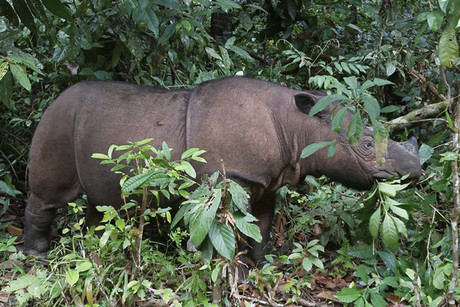 Ratu the Sumatran Rhinoceros at the Sumatran Rhino Sanctuary (SRS) in the Way Kambas National Park (Reuters)