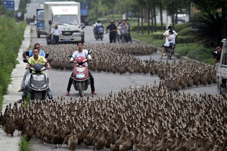 About 5,000 ducks are herded in Taizhou, Zhejiang province, China (Reuters)