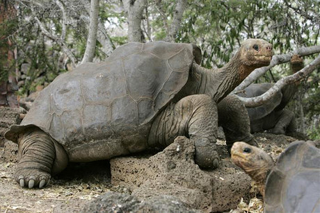 Lonesome George the giant tortoise (Reuters)