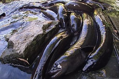 The long-finned eel is just as threatened as many other New Zealand animals