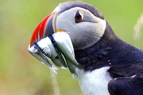 The Atlantic puffin lives across a vast expanse of the North Atlantic from Maine to northern Russia (Reuters)