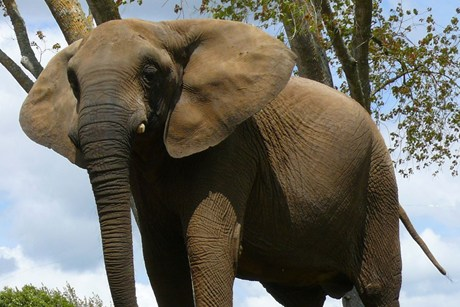 $1.4 million in funds are needed to save Mila the elephant