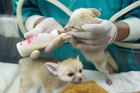 Two young Fennec foxes are bottle-fed at the zoological garden in Lodz, Poland (AAP)
