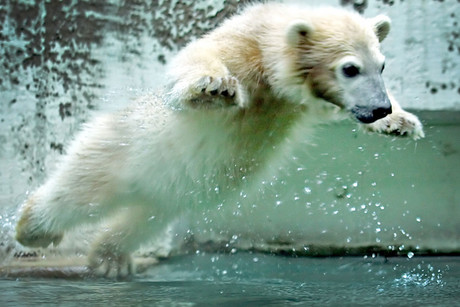 Polar bear Anori at the zoo in Wuppertal, Germany, this week (AAP)