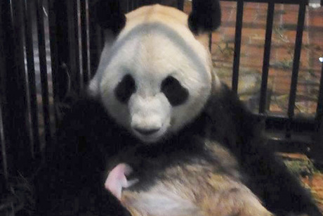Female giant panda Shin Shin and her new baby are seen at Ueno Zoo in Tokyo (Reuters)