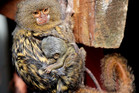 The pygmy marmosets (Photo: Wellington Zoo)