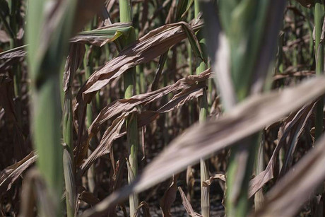 A drought stricken corn field in DeWitt, Iowa (Reuters)