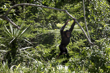 One of the chimps at the Jane Goodall Institute Chimpanzee Eden sanctuary (Reuters)