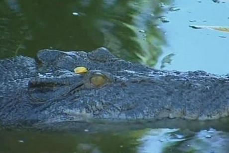 A ban on crocodile safaris may be dropped