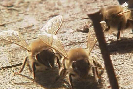 Beehives have been plagued by varroa mites