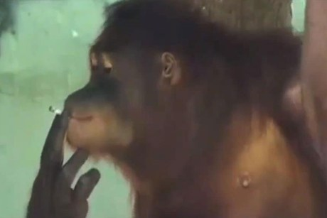 Tori the smoking orangutan 