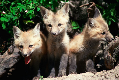 The UN regulates the trade in 35,000 species, including the grey fox