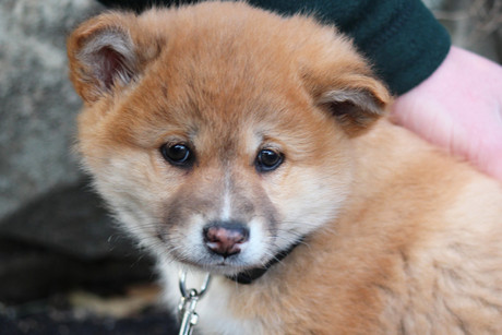 The Alpine Dingo pup at Wellington Zoo