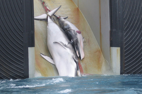 Minke whales, like the mother and calf seen here being drawn aboard a Japanese whaling ship, could be amongst those targeted as part of South Korea's plans to resume whaling (NZN)