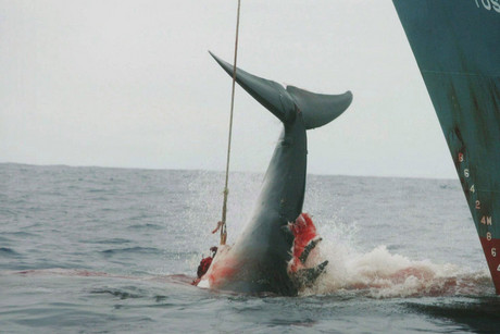 The Japanese have continued whaling under the scientific research loophole (AAP)