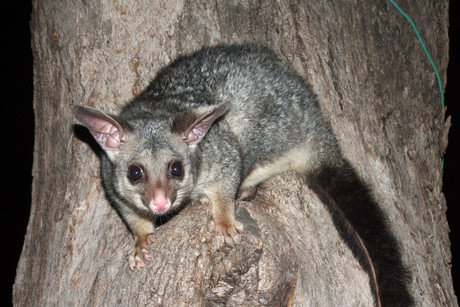 A Taranaki school has had a competition to dress up dead possums (file)