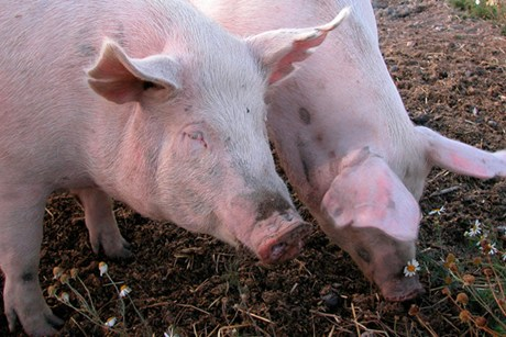 Pigs spread flu viruses just like people do, with coughing, sneezing, and runny noses  (file pic)