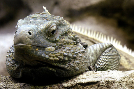 Marley, a male Grand Cayman blue iguana (Reuters)