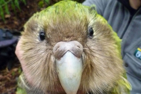 There are only 125 Kakapo left