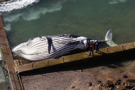 Police and wildlife rangers stand next to a dead humpback whale lying in a rock pool at Newport beach in Sydney (Reuters)