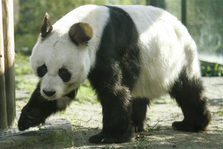 Bao Bao at Berlin Zoo (Reuters file)