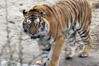 The tiger, Altai, is shown in a still from a video  (Reuters)