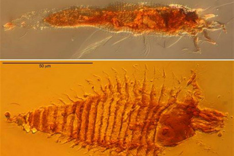 Photomicrographs of the two new species of ancient gall mites in 230-million-year-old amber droplets from northeastern Italy