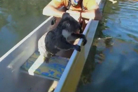 Canoeists in the Gold Coast lifted the swimming koala into their canoe (Reuters)