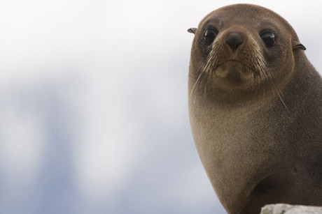 It's not clear how the seal got so far south (file pic)