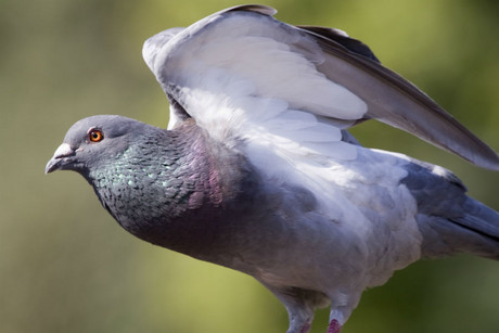 Hundreds of pigeons have disappeared over the British summer
