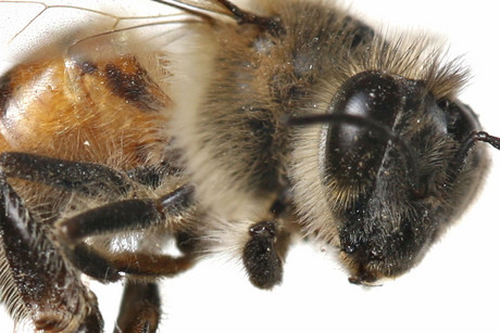 Bees are at a risk of starvation in the UK